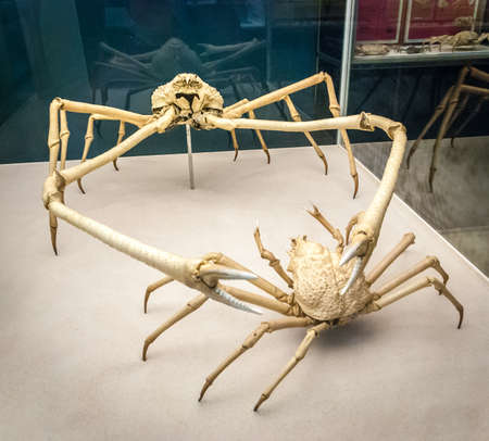 Japanese spider crab skeleton (Macrocheira kaempferi). Is a species of marine crab that lives in the waters around Japan. It has the largest leg span of any arthropod