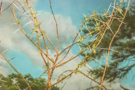 Vachellia tortilis, widely known as Acacia tortilis but now attributed to the genus Vachellia,[3] is the umbrella thorn acacia, also known as umbrella thorn and Israeli babool