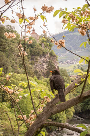 Town of Merano in spring. View of ruines of the medieval Zenoburg castle on a hill in background an a blackbird, Meran, Trentino-Alto Adige region, South Tyrol, Italy, Europe 免版税图像