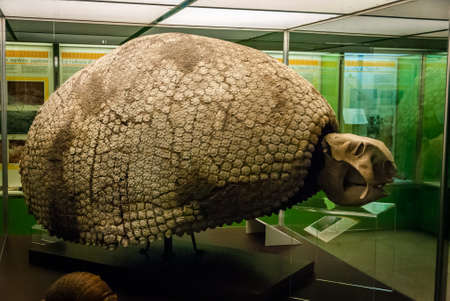 The cast fossil specimen of Glyptodon clavipes (grooved or carved tooth) in National Museum of Natural History. A genus of large, heavily armored mammals