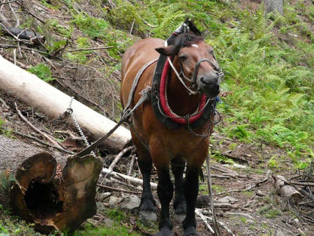 horse traction: working horse