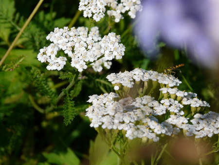 Yarrow, photo