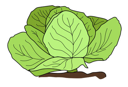 The head of green cabbage on a white background.