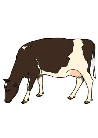 The brown cow with white spots on their sides on a white background. Head bowed to the ground. Illustration