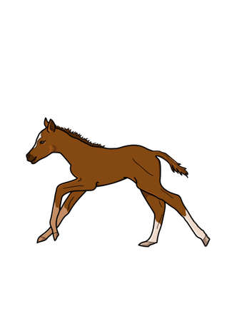 foal: Running brown foal on a white background.