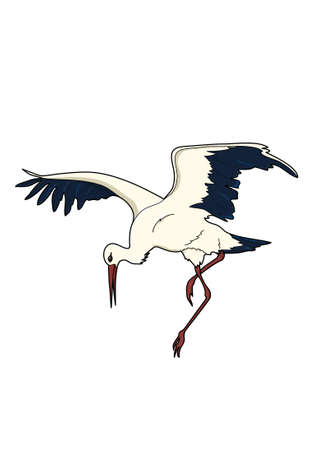 The stork with black and white plumage is lowered.
