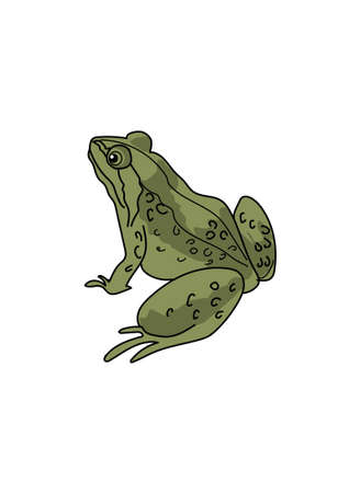 protruding eyes: Green frog with long hind legs on a white background.
