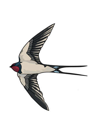 forked tail: Flying gray swallow with forked tail and long pointed black wings on a white background.