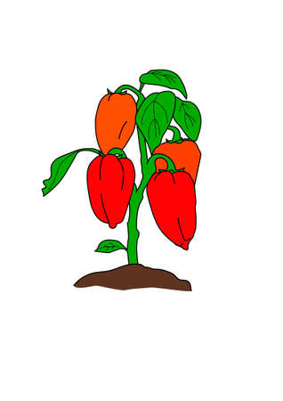 The bush of the red sweet pepper on a white background.