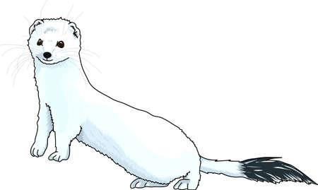 gronostaj: An ermine blue. A black tip of tail.