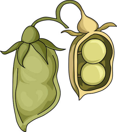 The disclosed green pod of lentils. Rounded seeds. Illustration