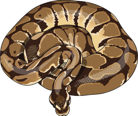 python skin: The spotted python curled in a ring. Illustration