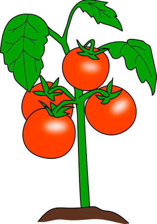 pimento: The bush of the red tomatoes on a white background. Illustration