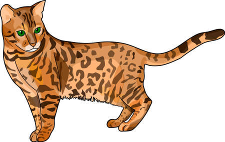 purebred: The brown spotted bengal cat on a white background.