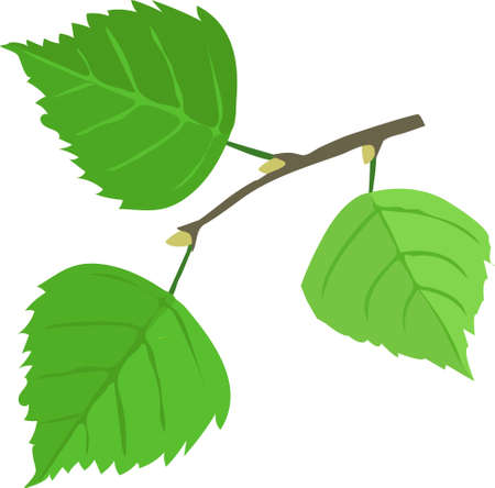 Birch tree leaves on a white background.