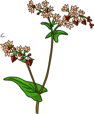 corne: Branch of blooming buckwheat on a white background. Illustration