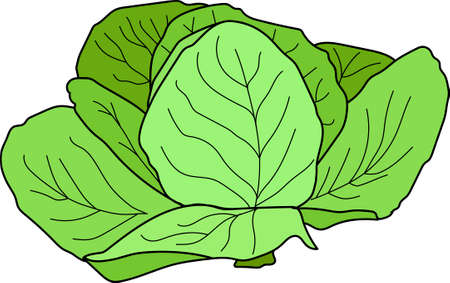 The green cabbage on a white background.