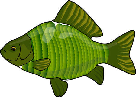 crucian: The green crucian on a white background.