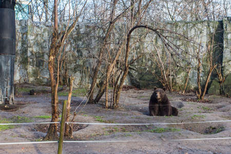 Brown bear at the Wroclaw Zoo. Poland 版權商用圖片 - 130730933