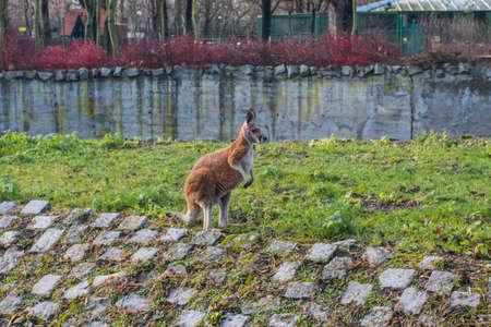 Kangaroo at the Wroclaw Zoo. Poland 版權商用圖片