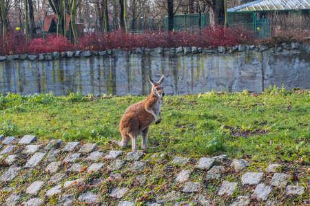 Kangaroo at the Wroclaw Zoo. Poland 版權商用圖片 - 130730981