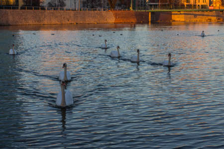 Swans floating on the river at sunset.