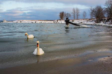 White swans in the winter sea in Tallinn. Estonia