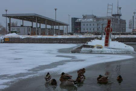Ducks in the frozen sea in the port of Tallinn. Estonia