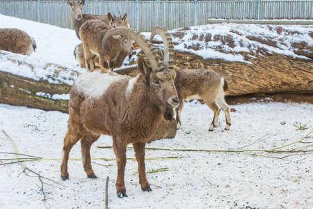 Mountain sheep in the enclosure at the Tallinn Zoo in winter. Estonia