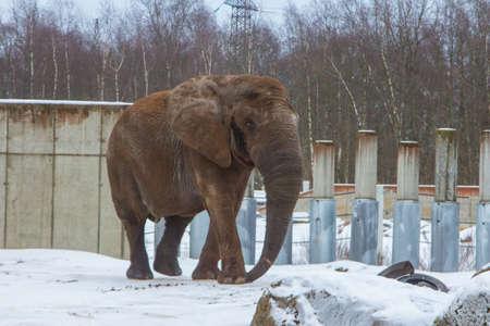Elephant in the enclosure at the Tallinn Zoo in winter. Estonia