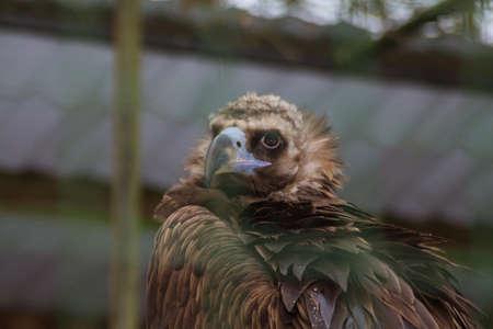 Eagle in a cage at the Tallinn Zoo in winter. Estonia 版權商用圖片