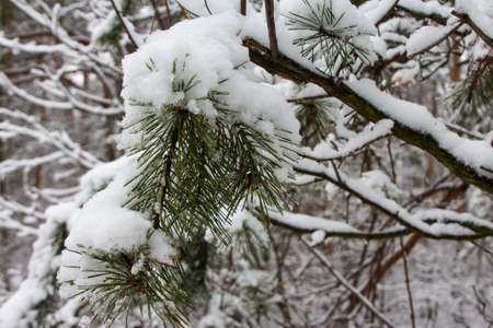 Snow-covered pine branches in winter forest in Kyiv. Ukraine