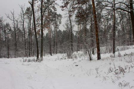 Snowy pine forest in Kiev in winter. Ukraine