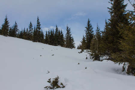 Chapped spruce on the way to the top of the highest mountain Mount Hoverla- Ukraine winter