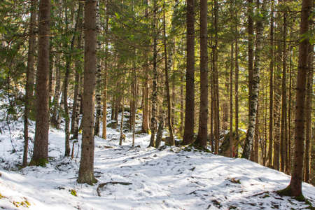 Trail in the winter coniferous forest near the Carpathian village Yaremche. Ukraine