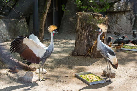 Crowned cranes at the Budapest Zoo. Hungary