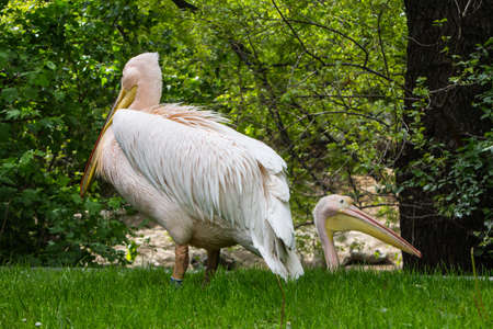 Pink pelicans at the Budapest Zoo. Hungary Stockfoto