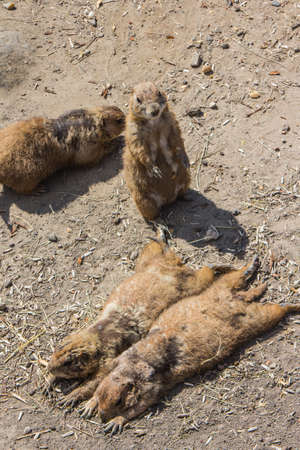 Prairie dogs at the Budapest Zoo. Hungary