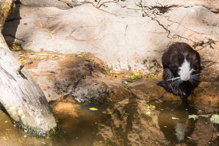 Black and white muskrat in the Budapest Zoo. Hungary