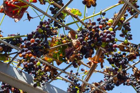 Ripe grapes on a background of blue sky Stok Fotoğraf