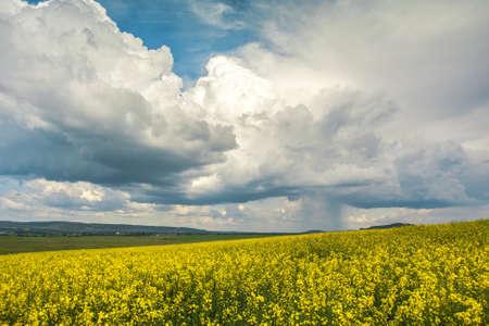 oilseed: Oilseed fields