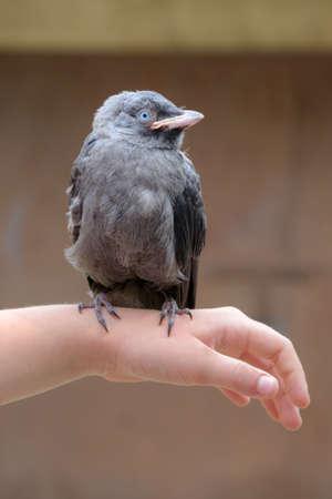 jackdaw: Small genus is sitting on girls hand