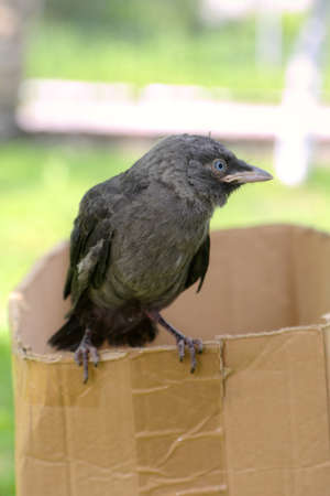 jackdaw: Small jackdaw is sitting on girls hand Stock Photo