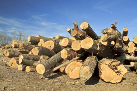 The remains of a local forest. Freshly cut trees.  Stock Photo