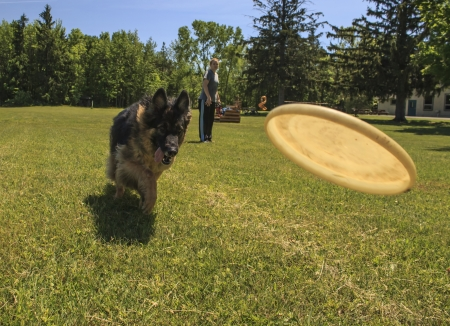 Woman stands in the background as her German Shepherd Dog catches flying disc.  Stock Photo