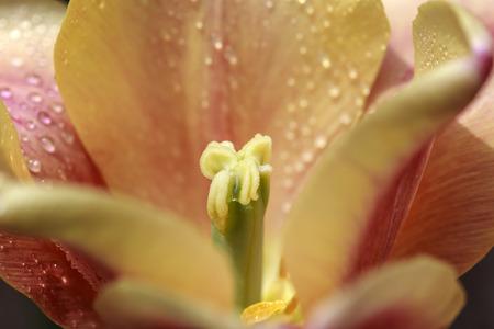 Close shot of the stamen of a dewy orange petaled tulip   Stock Photo