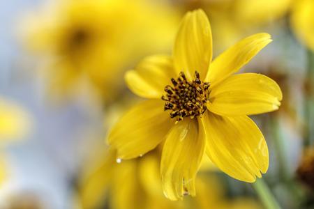 Delicate yellow petals of a Bidy Gonzales flower