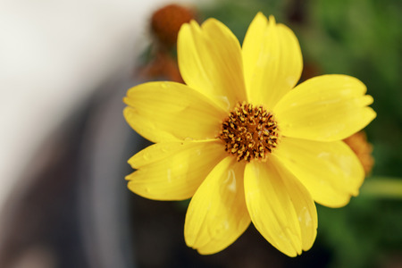 Direct view of a single small yellow Bidy Gonzales flower