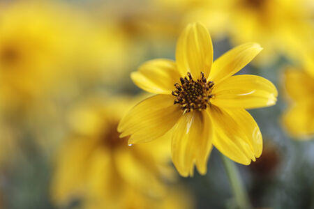 A single yellow petaled flower stands out from the bunch   Stock Photo