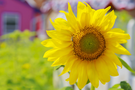 Single perfect sunflower. Bright yellow petals with a quaint country home backdrop. Stock Photo
